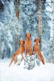 Cute red dog visla sitting in the snow, portrait stock photos