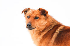 Cute red dog Royalty Free Stock Photos