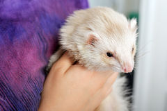 Cute red ferret Royalty Free Stock Images