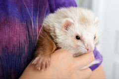 Cute red ferret Stock Image