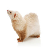Cute red ferret Stock Images