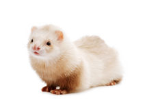 Cute red ferret Royalty Free Stock Image