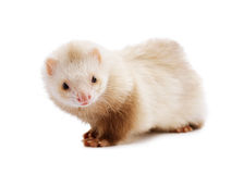 Cute red ferret Stock Photo