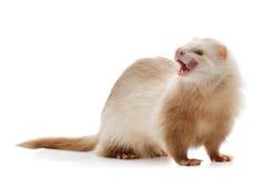 Cute red ferret Stock Photos