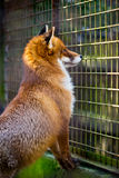 Cute red fox in the cage Royalty Free Stock Photo