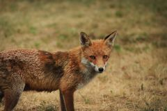 Red Fox in countryside royalty free stock image