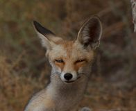 Cute red fox close up portrait Royalty Free Stock Photography