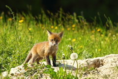 Cute red fox cub looking at camera Royalty Free Stock Photo