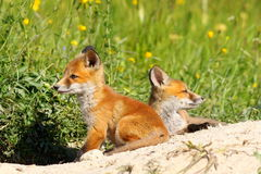 Cute red fox cubs Royalty Free Stock Images