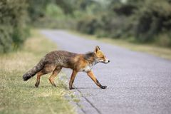 Cute Red fox. Crossing the street stock photo