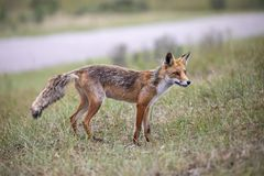 Cute Red fox. In the grass stock photography