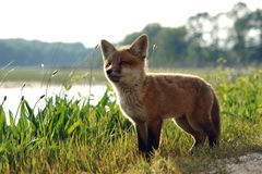 Cute Red Fox Kit in Meadow near Lake in the Wild Stock Images