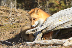Cute red fox playing. In forest royalty free stock images