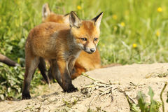 Cute red fox puppy near the burrow Royalty Free Stock Images
