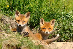Cute red fox siblings at the entrance of the den. Two cute european red fox siblings standing at the entrance of the den  Vulpes, baby wild animals Stock Photos