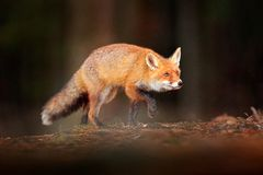Cute Red Fox, Vulpes vulpes in fall forest. Beautiful animal in the nature habitat. Wildlife scene from the wild nature. Fox. Running in orange and yellow stock image