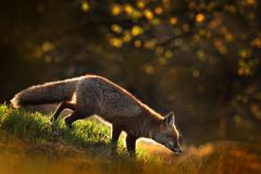 Cute Red Fox, Vulpes vulpes in fall forest. Beautiful animal in the nature habitat. Wildlife scene from the wild nature. Fox. Running in orange and yellow royalty free stock photography