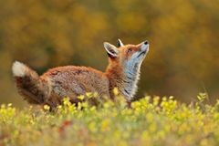 Cute Red Fox, Vulpes vulpes in fall forest. Beautiful animal in the nature habitat. Wildlife scene from the wild nature. Fox. Running in orange and yellow stock images