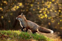 Cute Red Fox, Vulpes vulpes in fall forest. Beautiful animal in the nature habitat. Wildlife scene from the wild nature. Fox. Running in orange and yellow stock photo