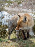 Cute red fox (Vulpes vulpes) with big eyes Stock Photos