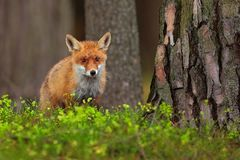 Cute Red Fox, Vulpes vulpes, at green forest. Wildlife scene from nature. stock images