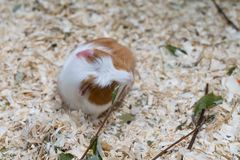 Cute red guinea pig close-up royalty free stock photo