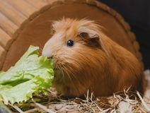 Cute red guinea pig eating lettuce leaf.  royalty free stock photo