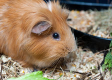 Cute red guinea pig eating salad leaf. Stock Photos