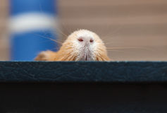 Cute red guinea pig nose Stock Photography