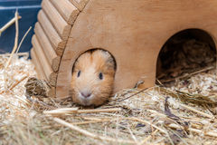 Cute red guinea pig in wooden house Stock Photography