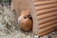 Cute red guinea pig in wooden house Stock Images