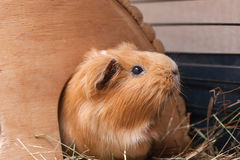Cute red guinea pig in wooden house Royalty Free Stock Images