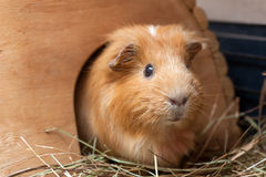 Cute red guinea pig in wooden house Stock Photo