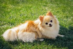 Cute red haired Chihuahua puppy dog lies on the green grass in the sun royalty free stock images