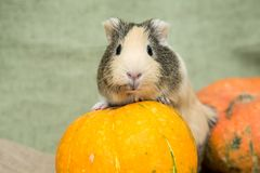 Guinea pig closeup Stock Photo