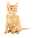 Cute red-haired kitten Royalty Free Stock Photography