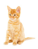 Cute red-haired kitten Royalty Free Stock Photo