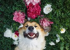 Puppy of the corgi dog lies on a natural green meadow surrounded by lush grass and flowers of pink fragrant. Cute red-haired puppy of the corgi dog lies on a stock images