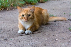 Cute red homeless cat Stock Images