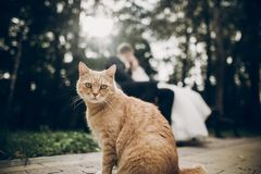 Cute red homeless cat looking forward and bride and groom kissing on background in park. kitten in sunlight posing. funny moment stock image