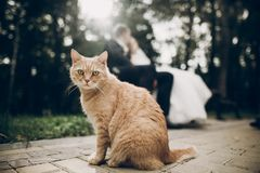 Cute red homeless cat looking forward and bride and groom kissing on background in park. kitten in sunlight posing. funny moment stock images