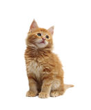 Cute red kitten Stock Image