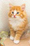 Cute red kitten with blue eyes. Sitting on cat food Royalty Free Stock Photos