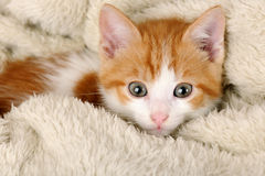 Cute red kitten. Close up portrait Stock Image