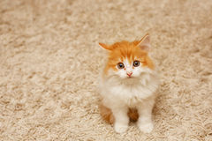 Cute Red Kitten Looking Up Stock Photo