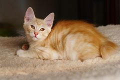 Cute red kitten royalty free stock photos