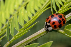 Cute red ladybug with black dots on a plant branch Royalty Free Stock Photo