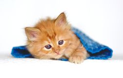 Cute Red little kitten. On white background Royalty Free Stock Photos