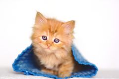 Cute Red little kitten. On white background Stock Photos