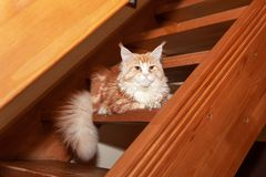 Cute red Maine Coon cat lies on steps of wooden stairs in country house. Concept rare pets, breeding, nurseries, clubs. Side view royalty free stock images